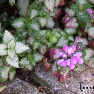 Lamium maculatum - Gevlekte dovenetel - Lamium maculatum