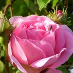 Rosa 'Constance Spry' - Roos, klimroos