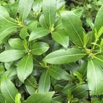 Skimmia - Skimmia japonica 'Kew White'