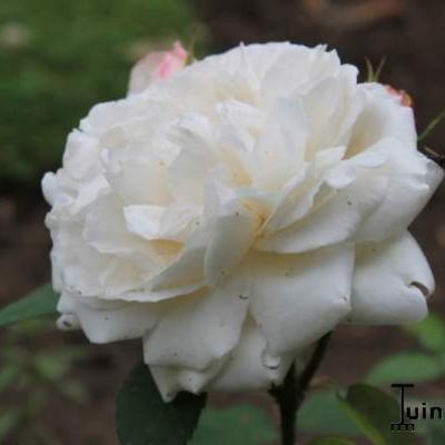 Rosa 'Winchester Cathedral'  - Roos