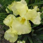 Iris 'Maui Moonlight' - Baardiris