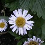 Aster alpinus 'White Beauty' - Aster alpinus 'White Beauty' - Alpenaster