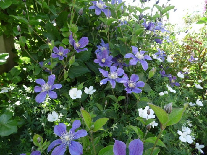 bosrank clematis integrifolia 39 arabella 39 planten online kopen. Black Bedroom Furniture Sets. Home Design Ideas