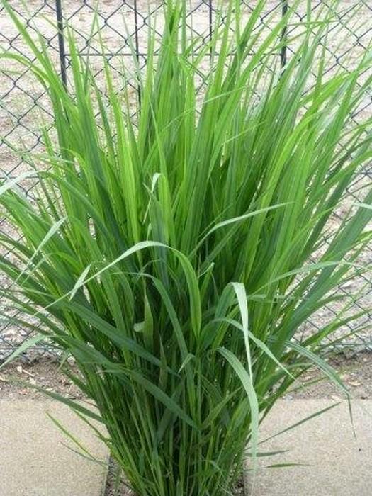vingergras panicum virgatum 39 northwind 39 planten online. Black Bedroom Furniture Sets. Home Design Ideas