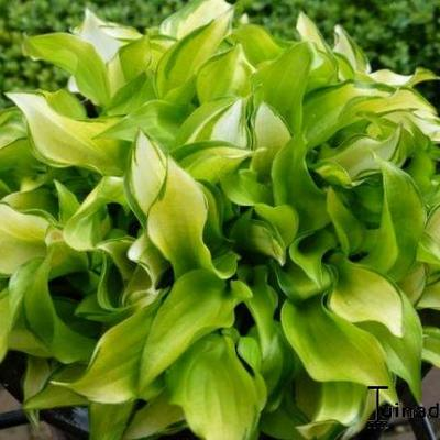 Hosta 'Cracker Crumbs' - Hartlelie