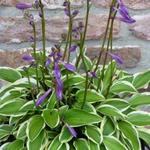 Hosta 'Little Wonder' - Hartlelie