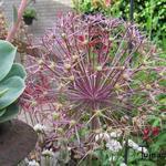 Allium - Allium - Sierui