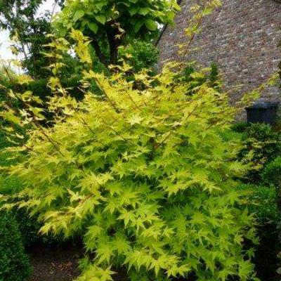 Acer palmatum 'Mikawa yatsubusa' -