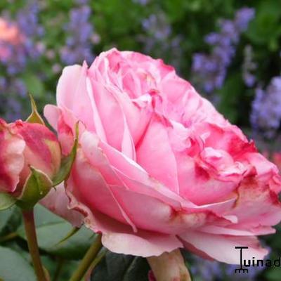 Rosa 'Giardina' -