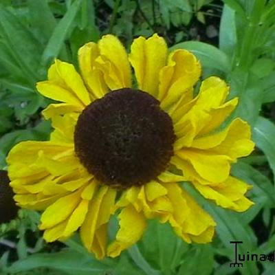 Helenium bigelovii 'The Bishop' - Zonnekruid