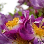 Rosa 'Veilchenblau' - Rosa 'Veilchenblau' - Roos, rambler
