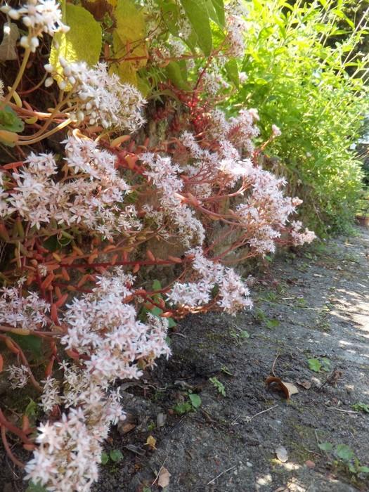 Witte muurpeper sedum album 39 coral carpet 39 planten online kopen - Sedum album coral carpet ...