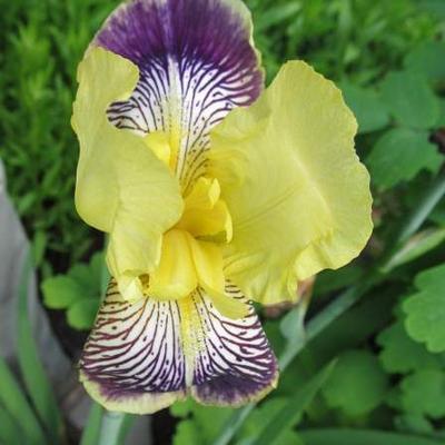 Iris germanica 'Nibelungen' - Baardiris, zwaardiris - Iris germanica 'Nibelungen'