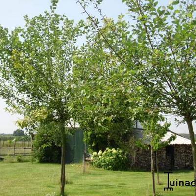 Waterwilg, Boswilg - Salix caprea