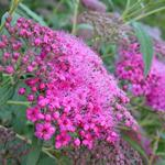 Spierstruik - Spiraea japonica 'Anthony Waterer'
