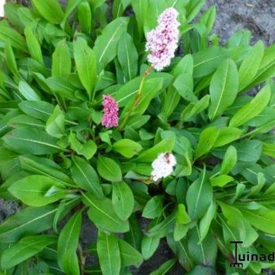 Persicaria affinis var Superbum -