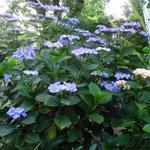 Hydrangea macrophylla 'Zorro' - Hortensia
