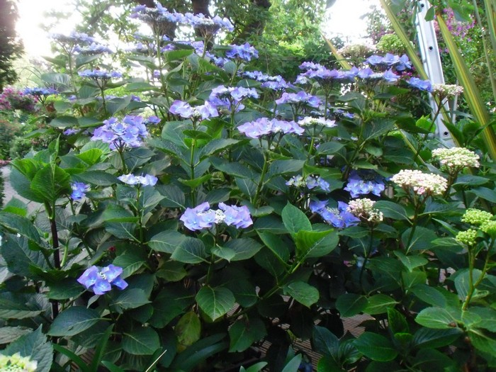 hortensia hydrangea macrophylla 39 zorro 39 planten online kopen. Black Bedroom Furniture Sets. Home Design Ideas