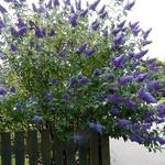 Vlinderstruik - Buddleja davidii 'Lochinch'