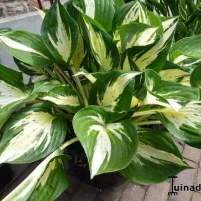 Hosta 'Revolution' - Hartlelie/Funkia