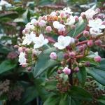 Viburnum tinus 'Eve Price' - Sneeuwbal - Viburnum tinus 'Eve Price'