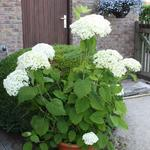 Hortensia - Hydrangea arborescens 'Incrediball'