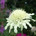 Gele scabiosa - Cephalaria gigantea