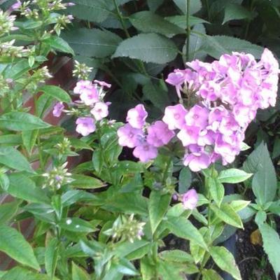 Phlox paniculata 'Lilac Time' -