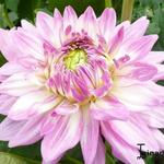 Dahlia 'Ace Summer Emotions' - Dahlia 'Ace Summer Emotions' - Dahlia