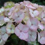 Hydrangea serrata 'Preziosa' - Hortensia - Hydrangea serrata 'Preziosa'