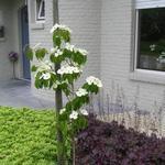 Cornus kousa 'Teutonia' - Cornus kousa 'Teutonia' - Kornoelje, Japanse grootbloemige kornoelje