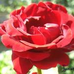 Rosa 'That's Jazz' - Roos, klimroos - Rosa 'That's Jazz'