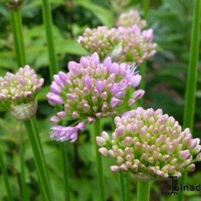 Allium senescens  montanum -