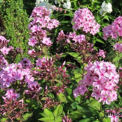 Phlox paniculata 'SWEET SUMMER Melody` -