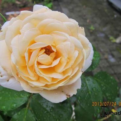 Rosa 'Lions-Rose' - Roos