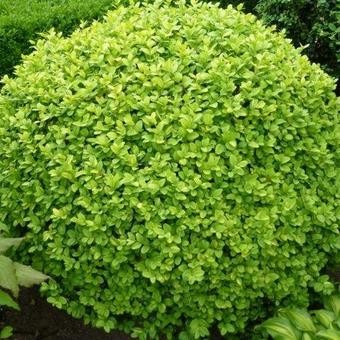 Buxus sempervirens 'Notata'