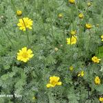 Anthemis marschalliana -