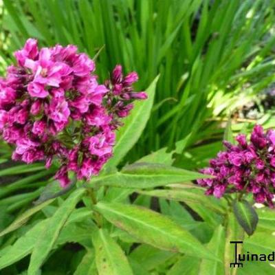 Phlox paniculata 'Natural Feelings' -