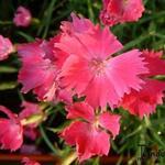 Dianthus 'Kahori' - Dianthus 'Kahori' - Geuranjer