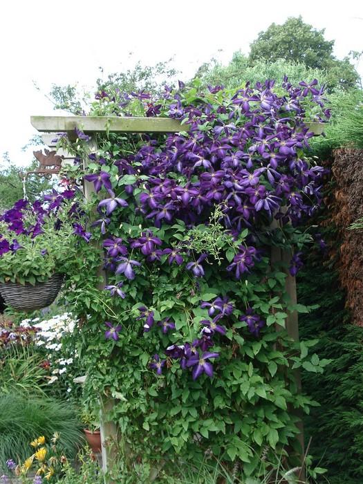 bosrank clematis viticella 39 etoile violette 39 planten online kopen. Black Bedroom Furniture Sets. Home Design Ideas