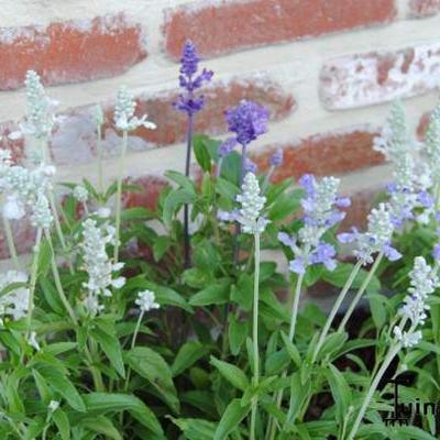 Salvia Farinacea 'Seascape mixed' -