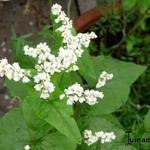 Fagopyrum esculentum - Fagopyrum esculentum - Boekweit