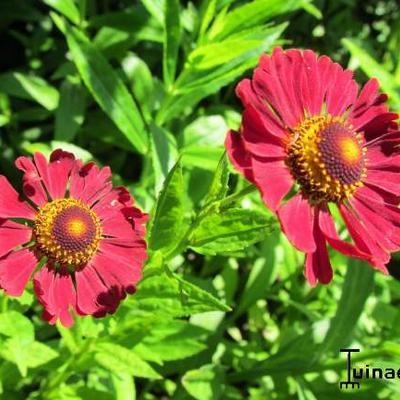 Helenium hybrides -