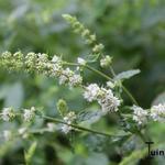 Mentha spicata - Groene munt - Mentha spicata