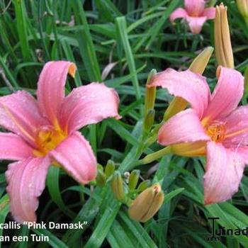Hemerocallis 'Pink Damask'