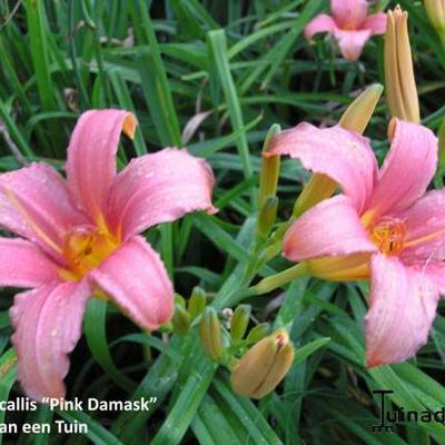 Hemerocallis 'Pink Damask' - Daglelie - Hemerocallis 'Pink Damask'