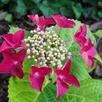 Hydrangea macrophylla 'Teller Red'  - Hortensia - Hydrangea macrophylla 'Teller Red'