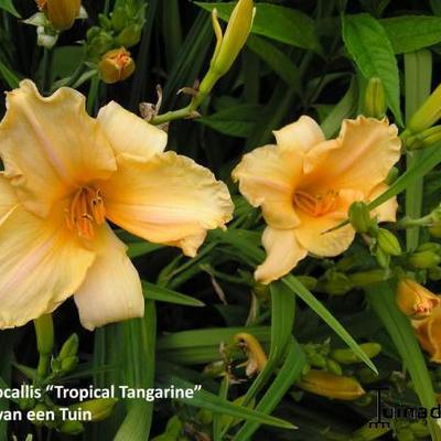 Hemerocallis 'Tropical Tangerina' -