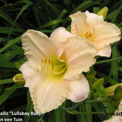 Hemerocallis 'Lullabay Baby' -