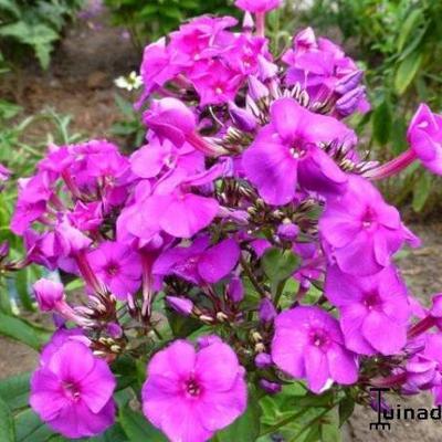 Phlox paniculata 'Purple Paradise' -